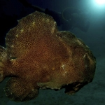 Giant-Frogfish-and-Nash-Sabang Wrecks